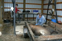 Steptoe-Moose-calf-recovery-003